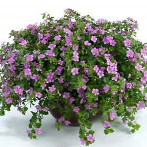Bacopa_Pink