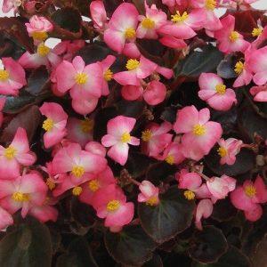 Bronze Leaf Begonia_Pink