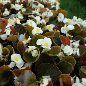 Bronze Leaf Begonia_White