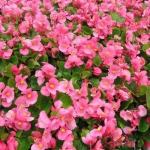 Green Leaf Begonia_Pink