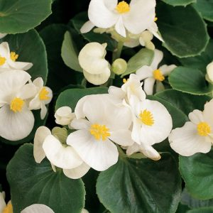 Green Leaf Begonia_White