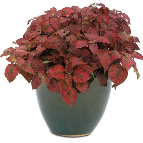 Polka Dot Plant Red