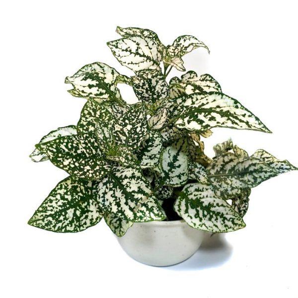 Polka Dot Plant White