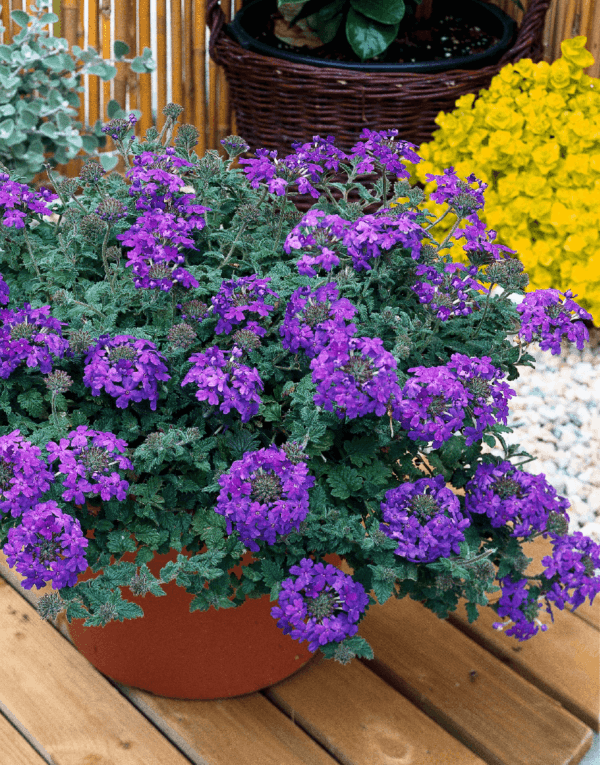 Trailing Verbena – Blue