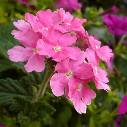 Trailing Verbena – Pink