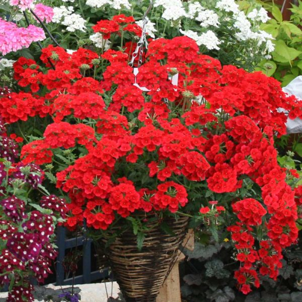 Trailing Verbena – Red