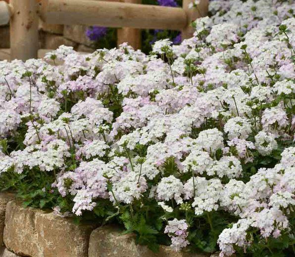 Trailing Verbena – White