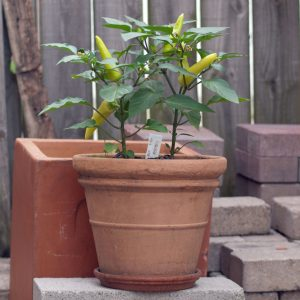 Hungarian Wax Pepper Plant - Greenhouse to Garden