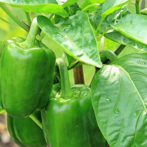 Green Bell Pepper Plant - Greenhouse to Garden